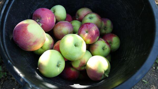 Zbiory letnich odmian jabłek w Krasnodarskim Kraju - Sputnik Polska