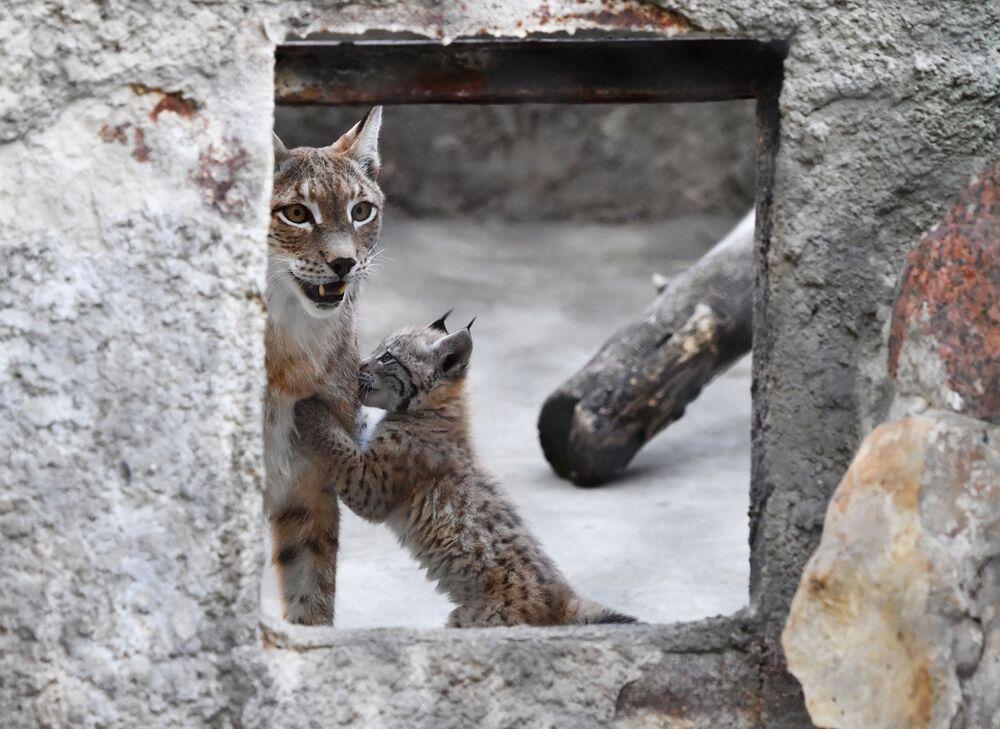 Małe rysie w moskiewskim zoo