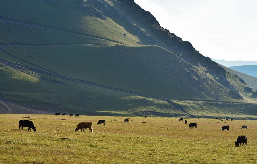Pastwiska krów w pobliżu góry Elbrus