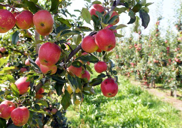 Uprawa jabłek w Polsce