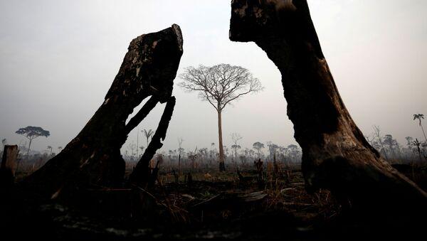Spalone drzewa podczas naturalnego pożaru w Amazonii - Sputnik Polska