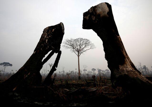 Spalone drzewa podczas naturalnego pożaru w Amazonii