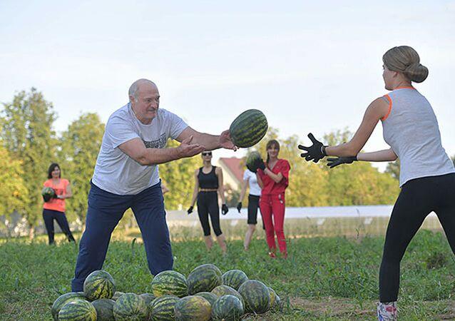 Aleksandr Łukaszenka podczas zbioru arbuzów