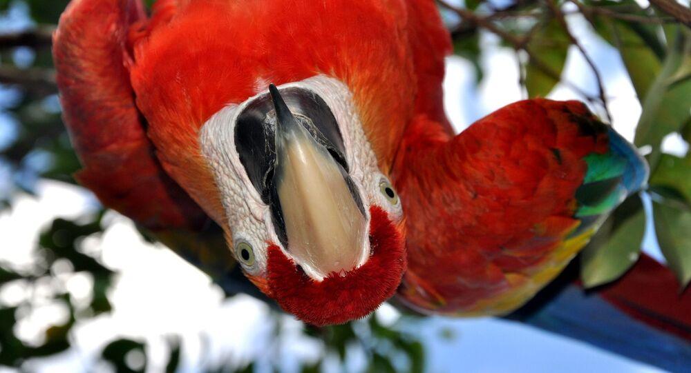 Papuga w Wenezueli