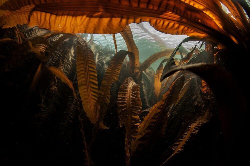 """Laminaria (""""morska kapusta"""") na dnie zatoki Nowokurylskiej w pobliżu wyspy Urup (wyspa południowej grupy Wielkiego Grzbietu Wysp Kurylskich)."""