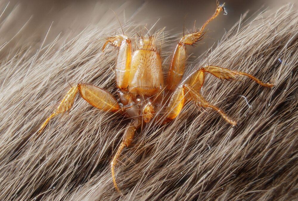 Mucha pająk z rodziny Nycteribiidae podczas pasożytowania na nietoperzu