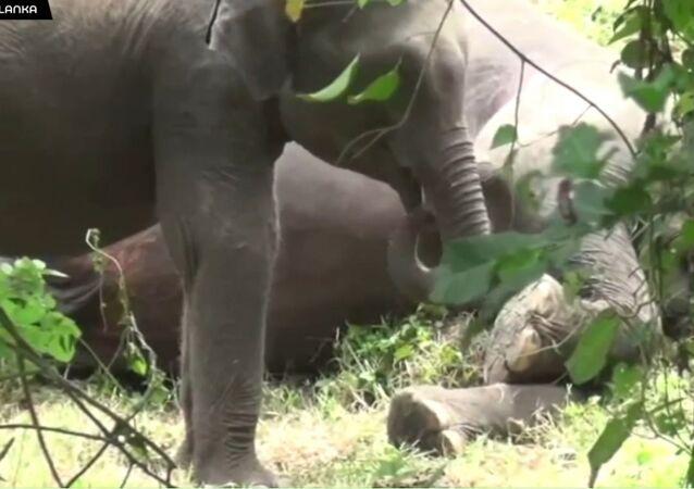 Martwe słonie na Sri Lance