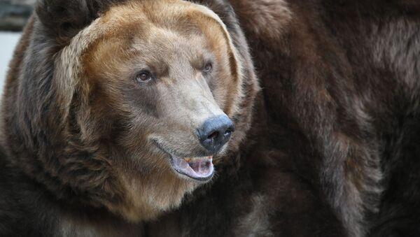 Niedźwiedź brunatny - Sputnik Polska