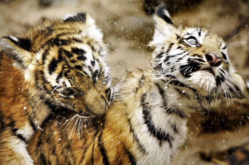 Małe tygrysy amurskie