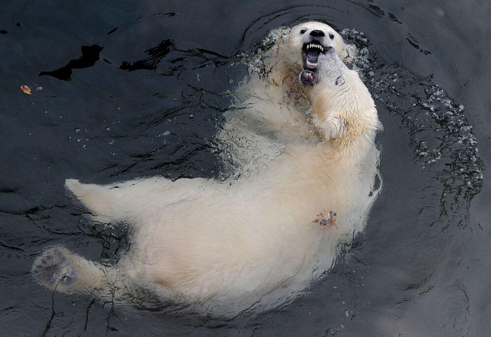 Białe niedźwiedzie