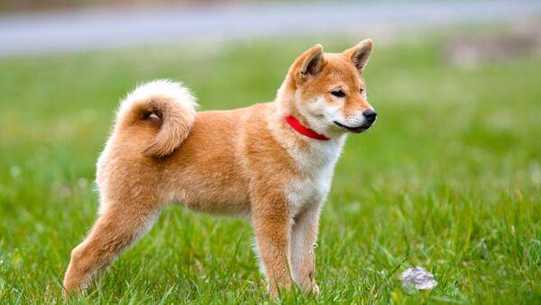 Pies rasy akita - Sputnik Polska