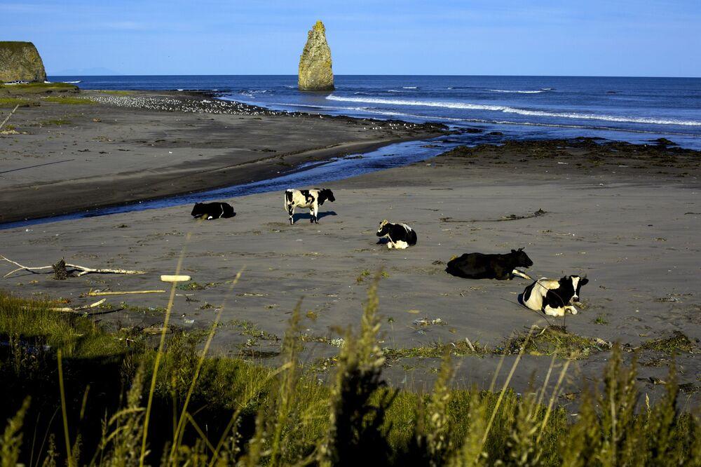 Krowy na plaży w pobliżu Jużno-Kurilska na wyspie Kunaszyr