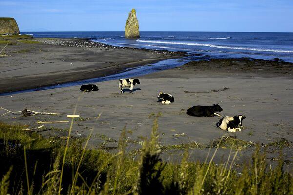 Krowy na plaży w pobliżu Jużno-Kurilska na wyspie Kunaszyr - Sputnik Polska
