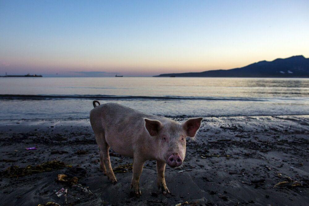 Prosiak na plaży wyspy Kunaszyr szuka wodorostów