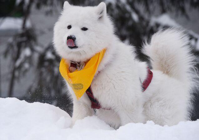 Pies zima