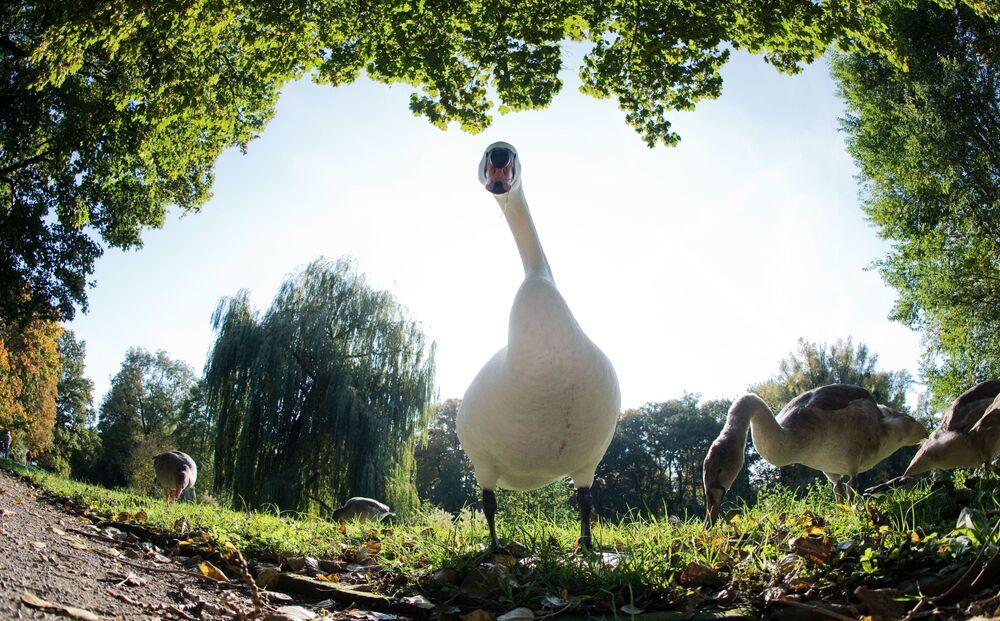 Łabędź spaceruje po parku w Hanowerze