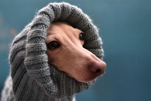 Charcik włoski na wystawie psów w Biszkeku - Sputnik Polska