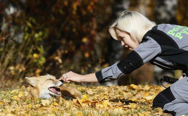 Lis domowy Ralf podczas spaceru w lesie w Krasnojarsku  - Sputnik Polska