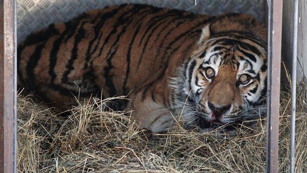 Tygrys w klatce - Sputnik Polska