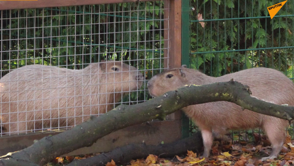 Kapibary - Sputnik Polska