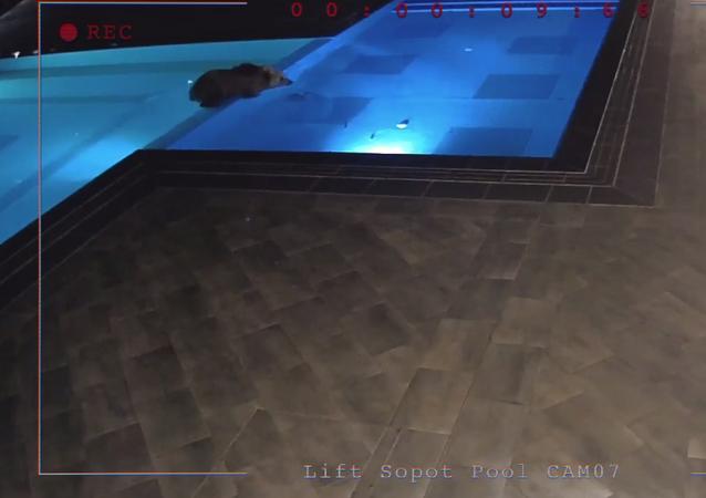 Niedźwiedzi w basenie