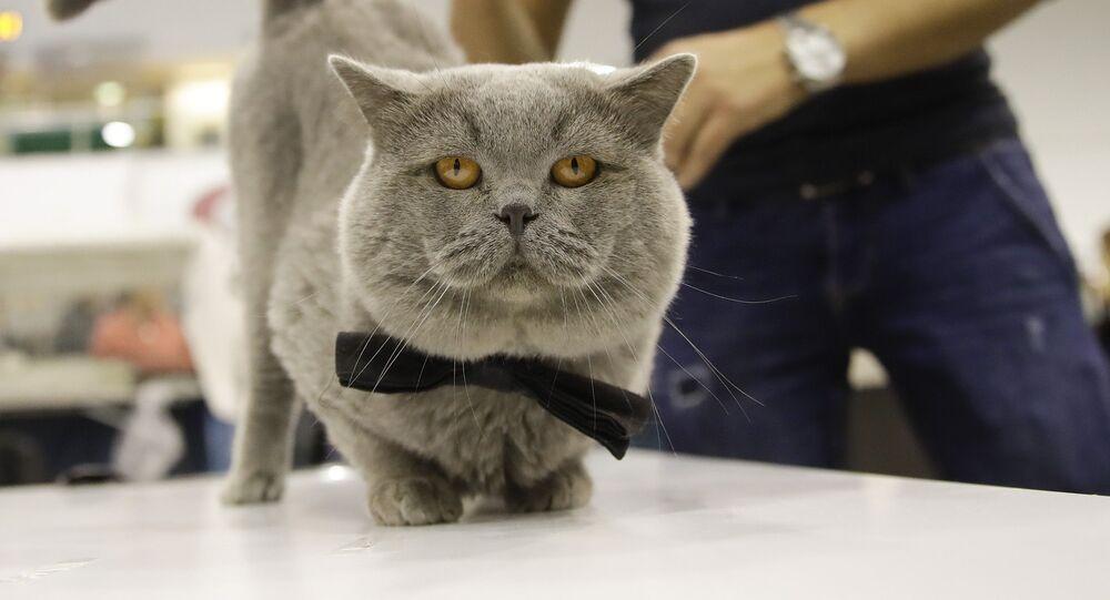 Kot brytyjski krótkowłosy o imieniu Oskar