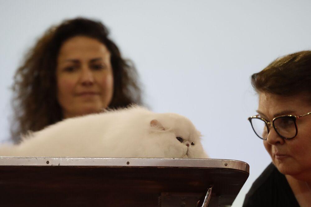 Kot perski na pokazie w Rzymie