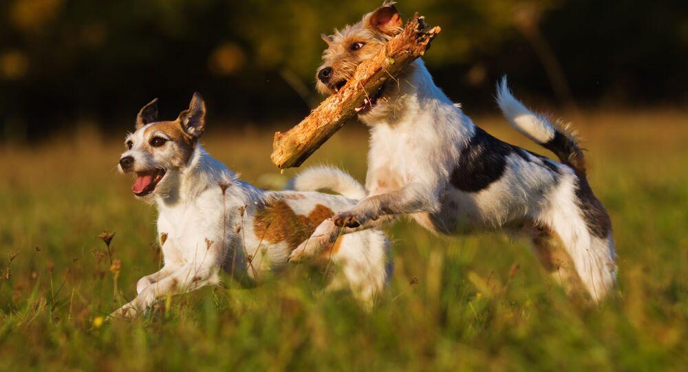 Dwa psy rasy Parson Russell Terrier na spacerze