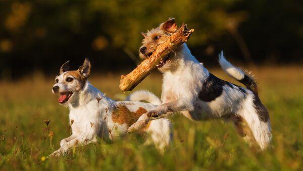 Dwa psy rasy Parson Russell Terrier na spacerze - Sputnik Polska