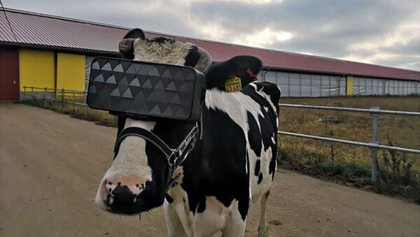 Krowy w okularach VR na farmie w obwodzie moskiewskim - Sputnik Polska
