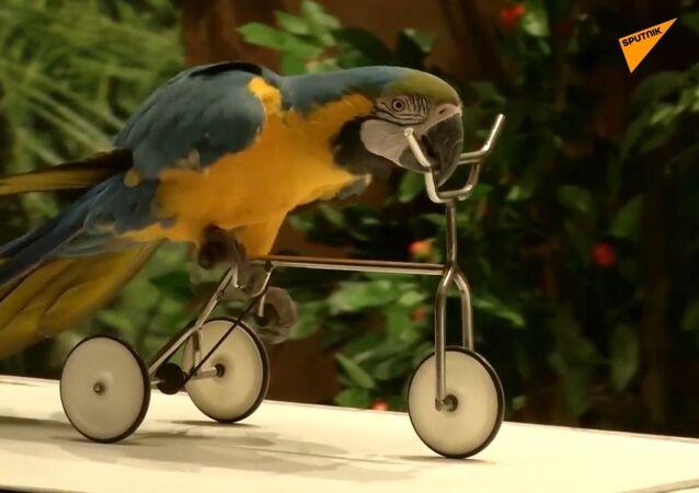 Ptaki-akrobaci