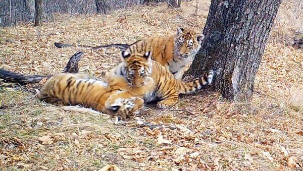 Zabawy tygrysków amurskich - Sputnik Polska