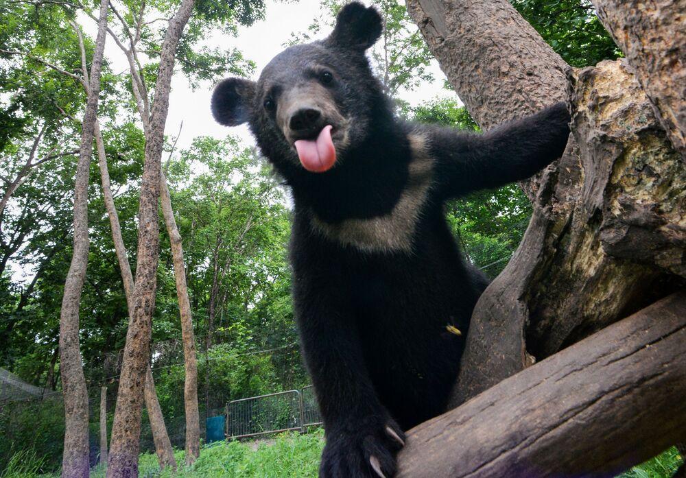 Niedźwiedź himalajski we Władywostoku