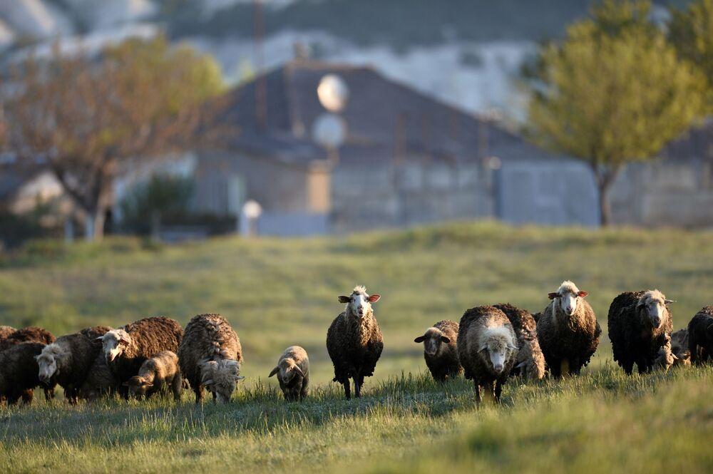 Owce na wypasie na Krymie