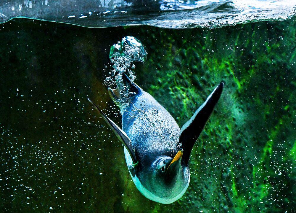 Pingwin w moskiewskim zoo