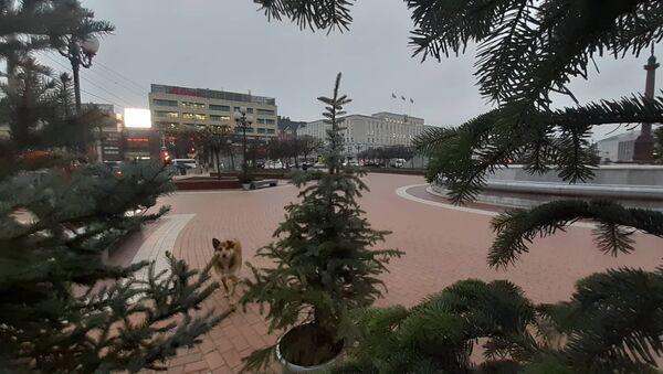 Polskie choinki w centrum Kaliningradu - Sputnik Polska