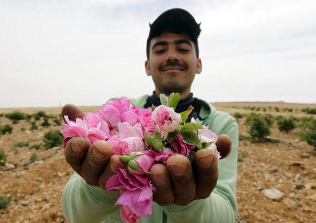 Mężczyzna z różami damasceńskimi zebranymi we wsi Marah w Syrii