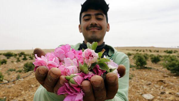 Mężczyzna z różami damasceńskimi zebranymi we wsi Marah w Syrii - Sputnik Polska