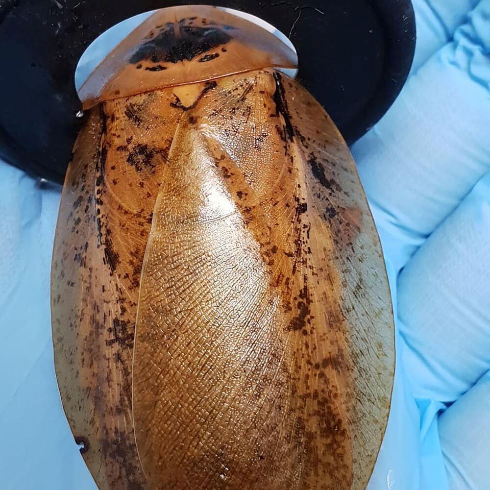 Rosyjscy lekarze pomogli przyjść na świat karaluchowi