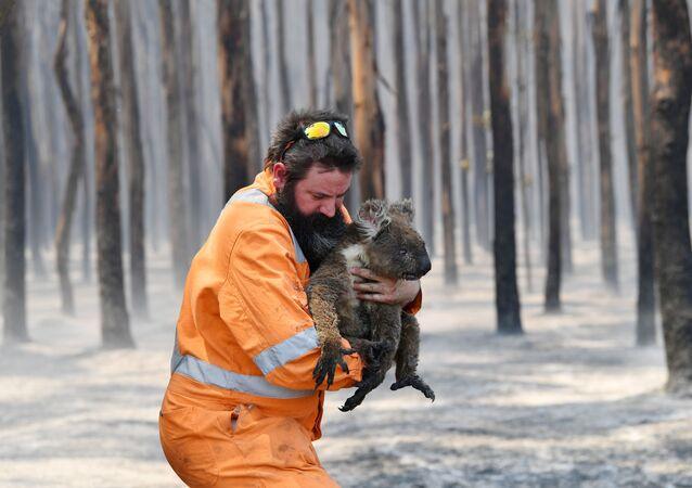 Australijski strażak z uratowaną koalą