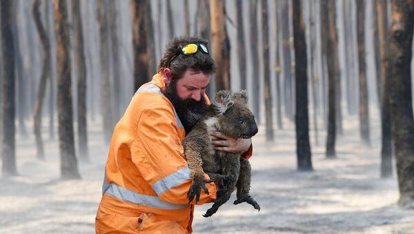 Australijski strażak z uratowaną koalą - Sputnik Polska