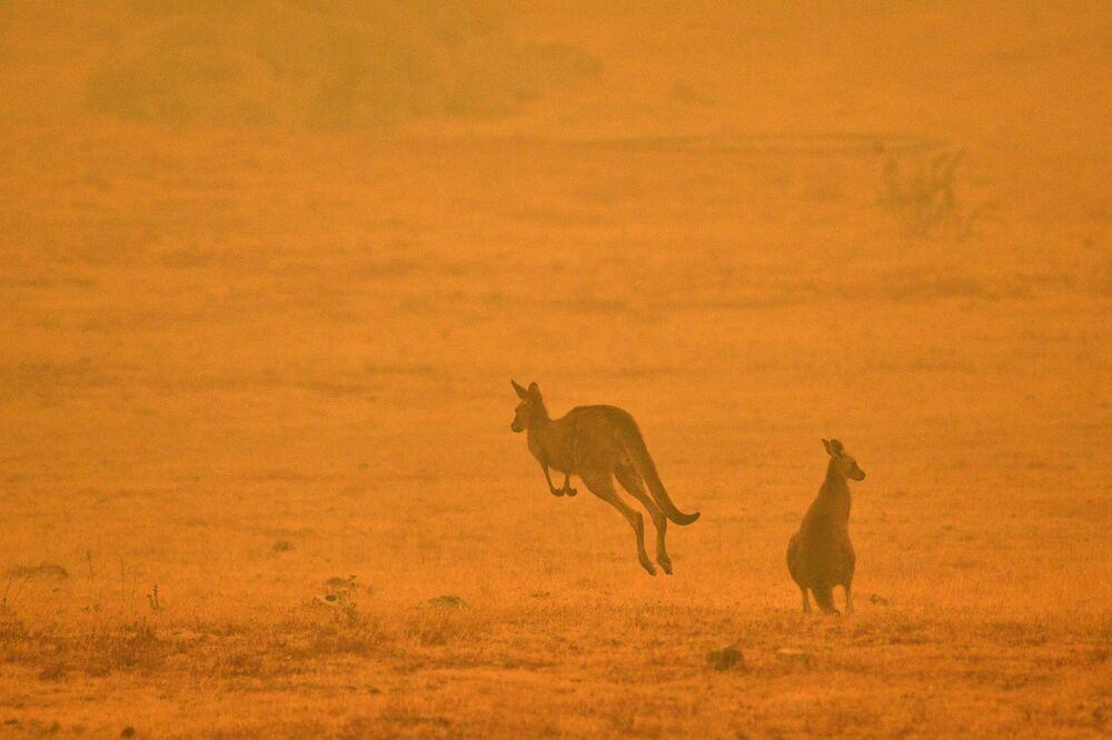 Kangury podczas pożarów leśnych w Australii