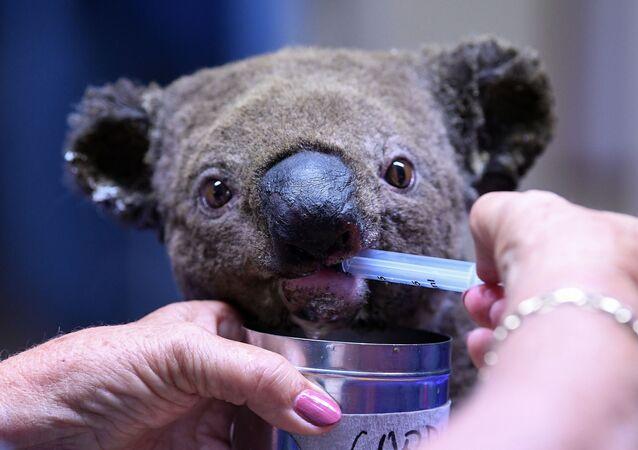 Uratowana koala podczas leczenia w szpitalu australijskiej miejscowości Port Macquarie