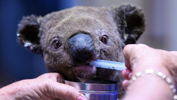 Uratowana koala podczas leczenia w szpitalu australijskiej miejscowości Port Macquarie  - Sputnik Polska