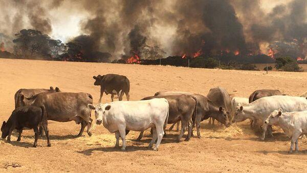 Stado krów na pastwisku podczas pożarów na Wyspie Kangurów, Australia   - Sputnik Polska