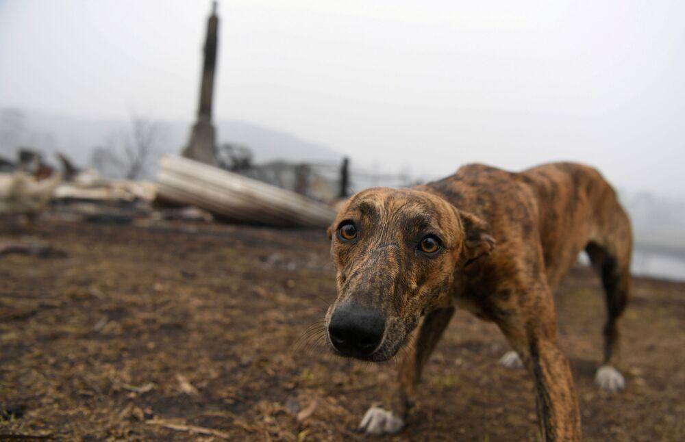 Pies na miejscu swojego spalonego domu w Australii