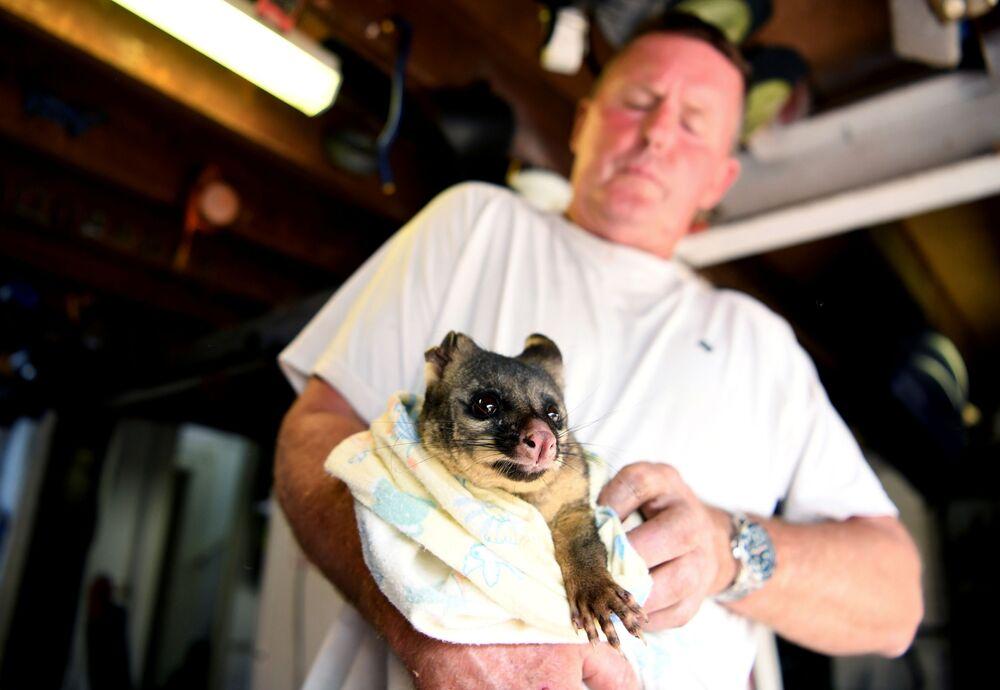 Uratowany z pożaru opos, Australia