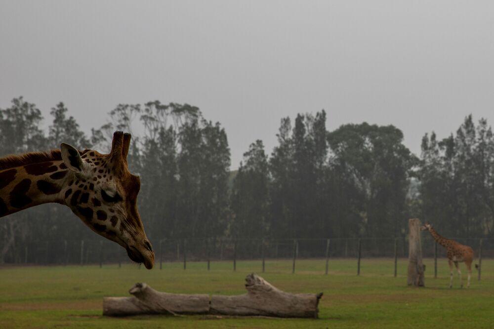 Żyrafy w ogrodzie zoologicznycm w dymie od pożarów leśnych