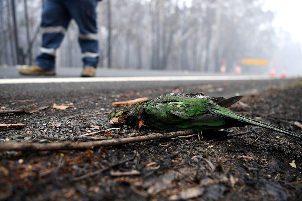Papuga, która zginęła w wyniku pożarów leśnych w Austarlii