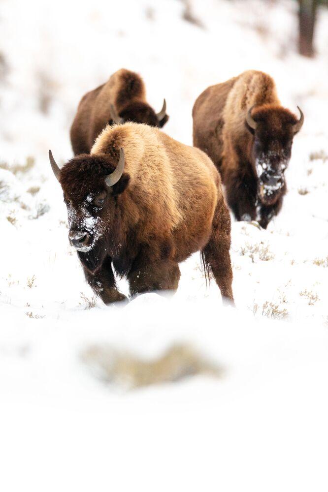 Bizony w parku narodowym Yellowstone pod Moskwą